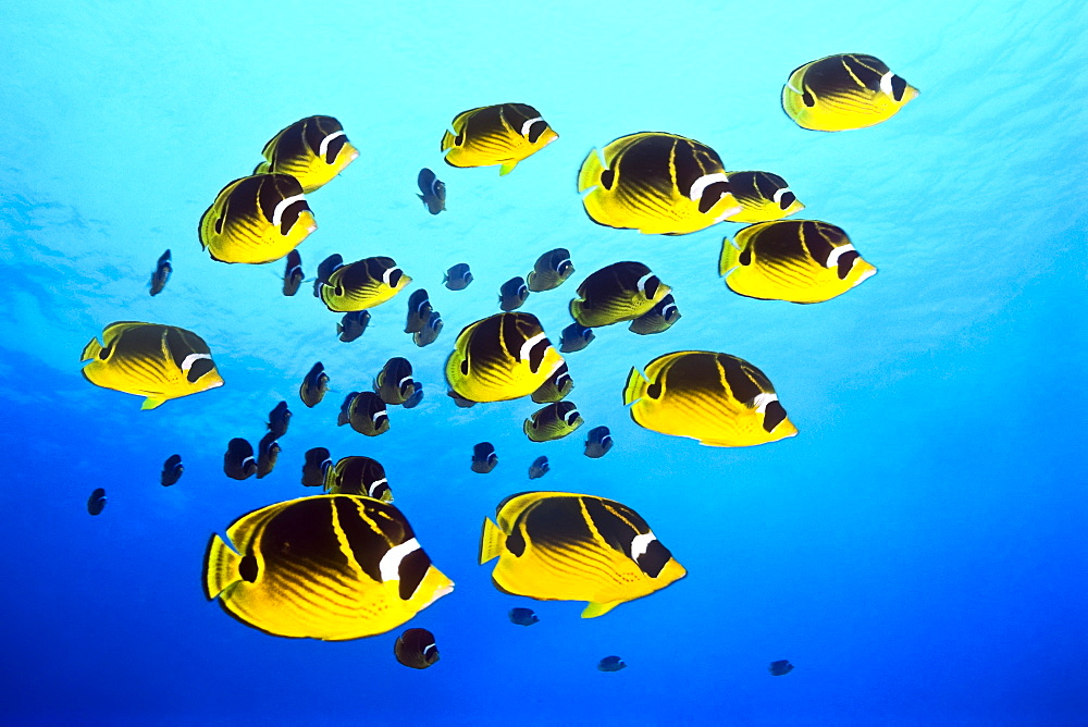 raccoon butterflyfish, Chaetodon lunula, schooling, Kona Coast, Big Island, Hawaii, USA, Pacific Ocean - 983-666