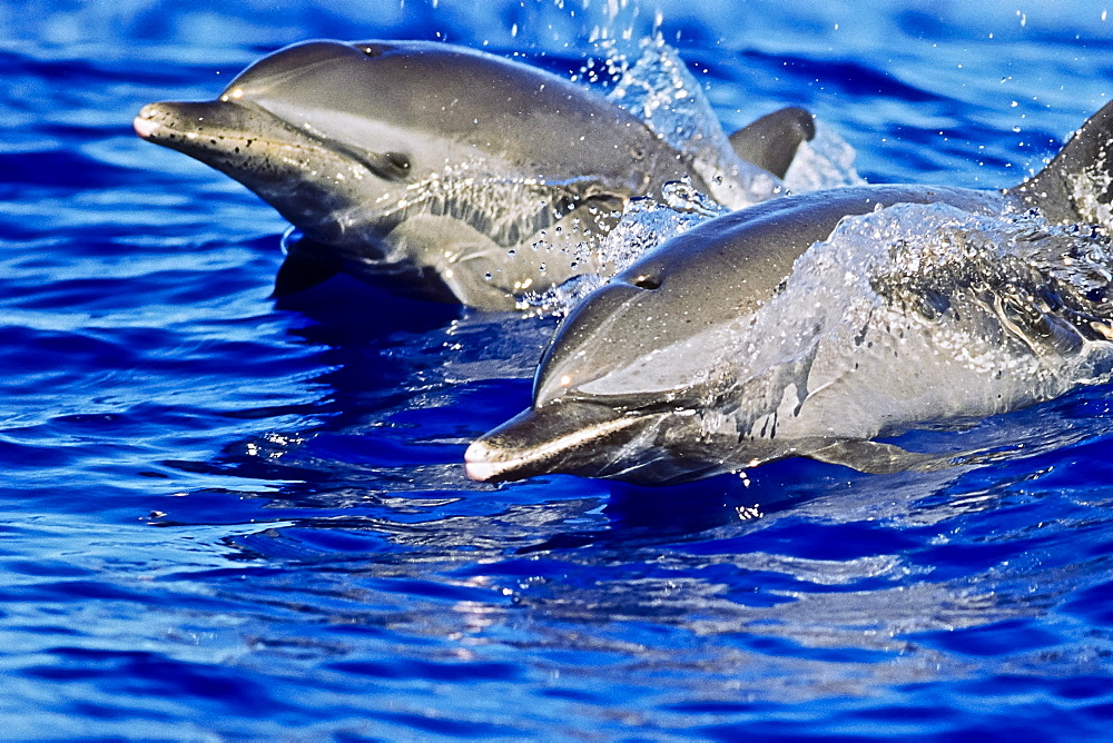 pantropical spotted dolphins, Stenella attenuata, wake-riding, Kona Coast, Big Island, Hawaii, USA, Pacific Ocean - 983-678
