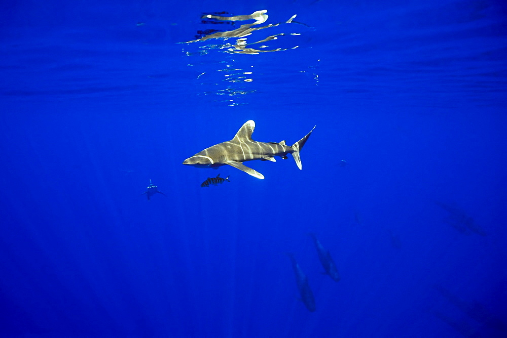 oceanic whitetip sharks, Carcharhinus longimanus, and short-finned pilot whales, Globicephala macrorhynchus, sharks often follow whales to scavenge on free meals like whale feces and leftovers, Kona Coast, Big Island, Hawaii, USA, Pacific Ocean