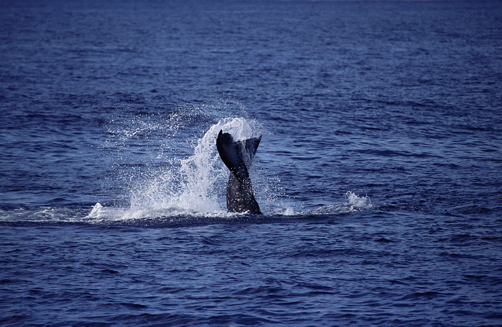 Humpback whale (Megaptera novaeangliae) tail lobbing / tail throw. Hawaii, USA.