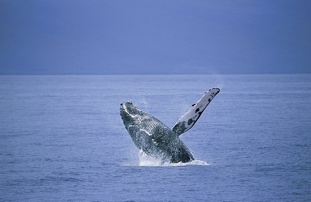 Humpback whale (Megaptera novaeangliae) breaching with long, white pectoral fin visible. Hawaii, USA. - 985-14