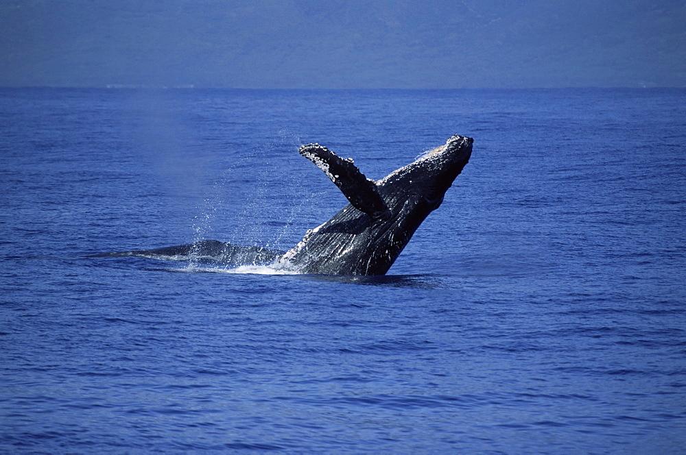Humpback whale (Megaptera novaeangliae) breaching with long pectoral fin visible. Hawaii, USA. - 985-16