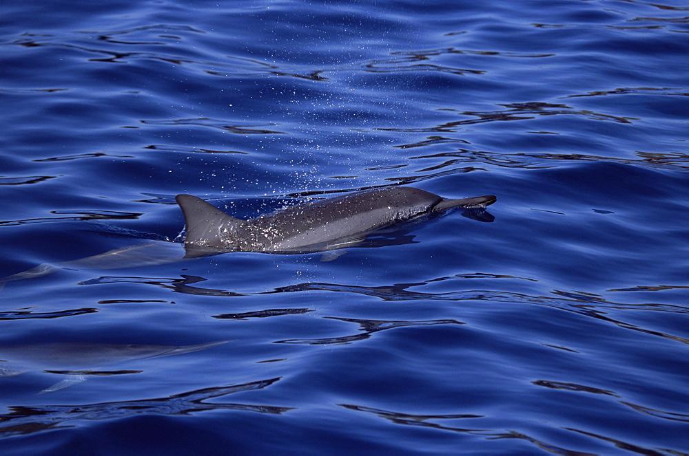 Hawaiian spinner dolphin (Stenella longirostris lngirostris) showing characteristic dorsal fin and long snout. Hawaii, USA. - 985-2