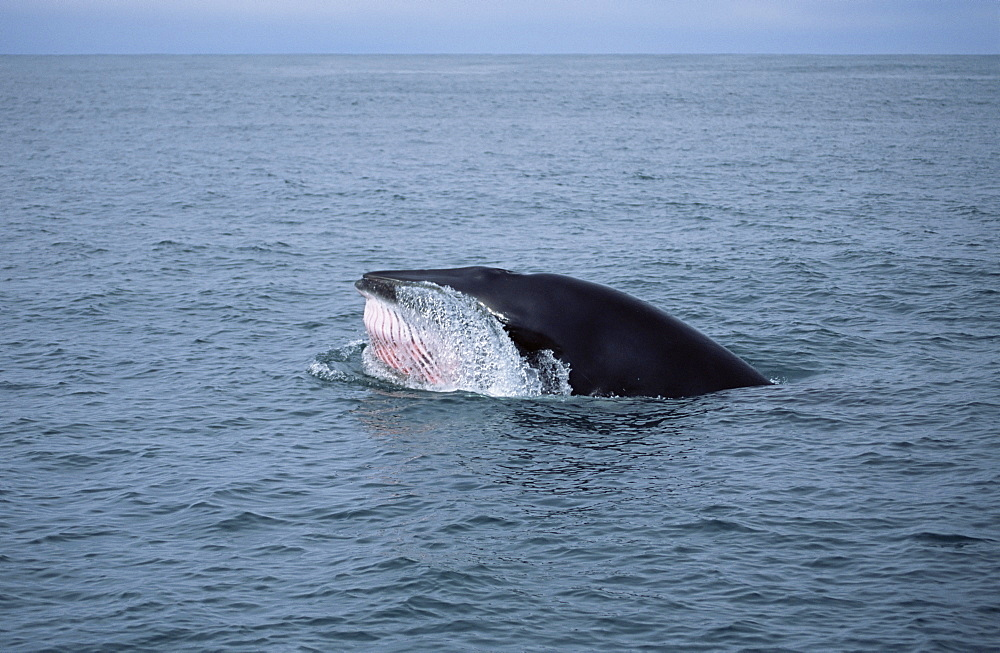 Minke whale (Balaenoptera acutorostrata) lunge feeding at surface showing pink throat grooves. Olafsvik Iceland - 985-21