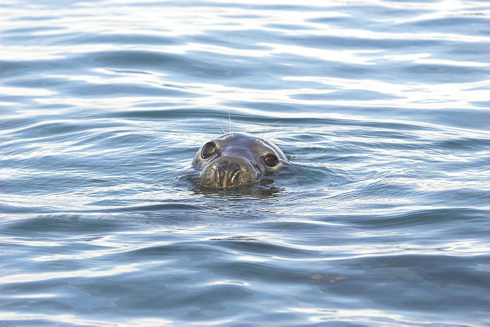 Grey seal (Halichoerus grypus) head above surface, Cardigan Bay, West Wales, UK   (RR) - 985-25