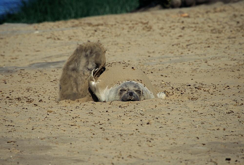 Juvenile Northern elephant seal (Mirounga angustirostris) flicking sand on its back for sun protection. Ano Nuevo, California, USA  - 985-26