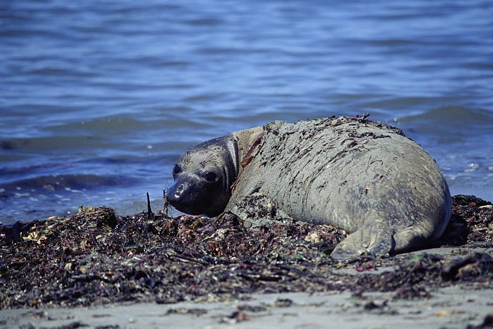 Juvenile Northern elephant seal (Mirounga angustirostris) sunbathing. Ano Nuevo, California, USA  - 985-28
