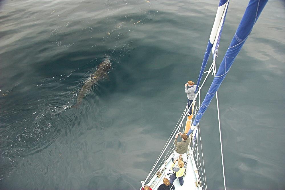 People on boat taking pictures ofBasking shark dorsal fin for photo-identification.(Cetorhinus maximus) Hebrides, Scotland   (RR) - 985-29