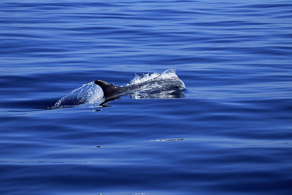 Risso's dolphin (Grampus griseus) surfacing at speed with natural scarring visible. Monterey Bay, California, USA - 985-3