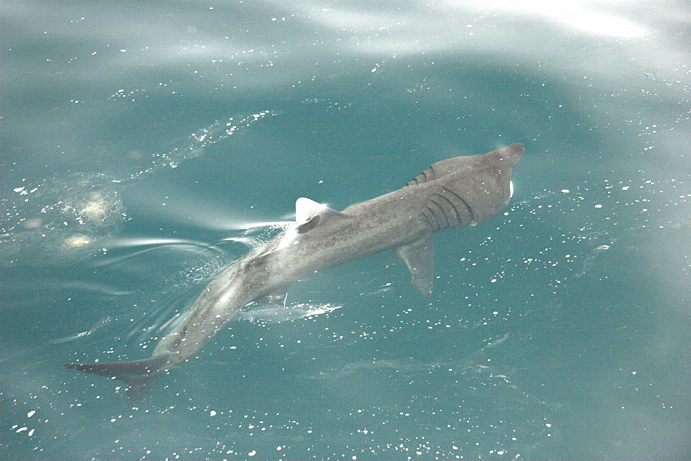 Basking shark feeding at surface in tide line with mouth open (Cetorhinus maximus) Hebrides, Scotland   (RR)