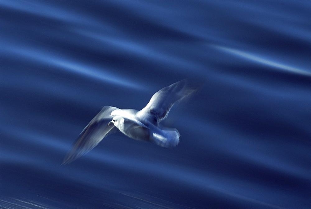 Fulmar (Fulmar glacialis) - slow shutter speed to show wing patterns in flight. Iceland - 985-33