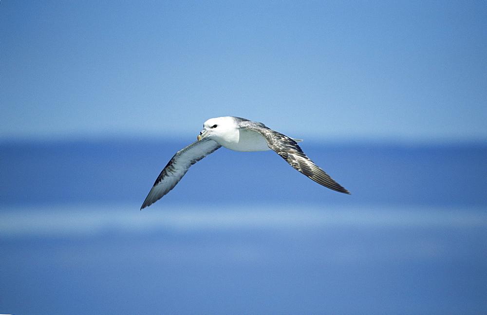 Manx shearwater (Puffinus puffinus) taking off. Hebrides, UK