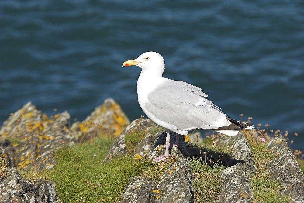 Herring gull (Larus argentatus) Cardigan Bay, West Wales, UK   (RR) - 985-39