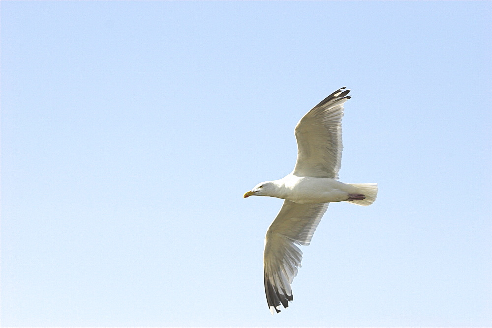 Herring gull (Larus argentatus) in flight, Cardigan Bay, West Wales, UK   (RR)