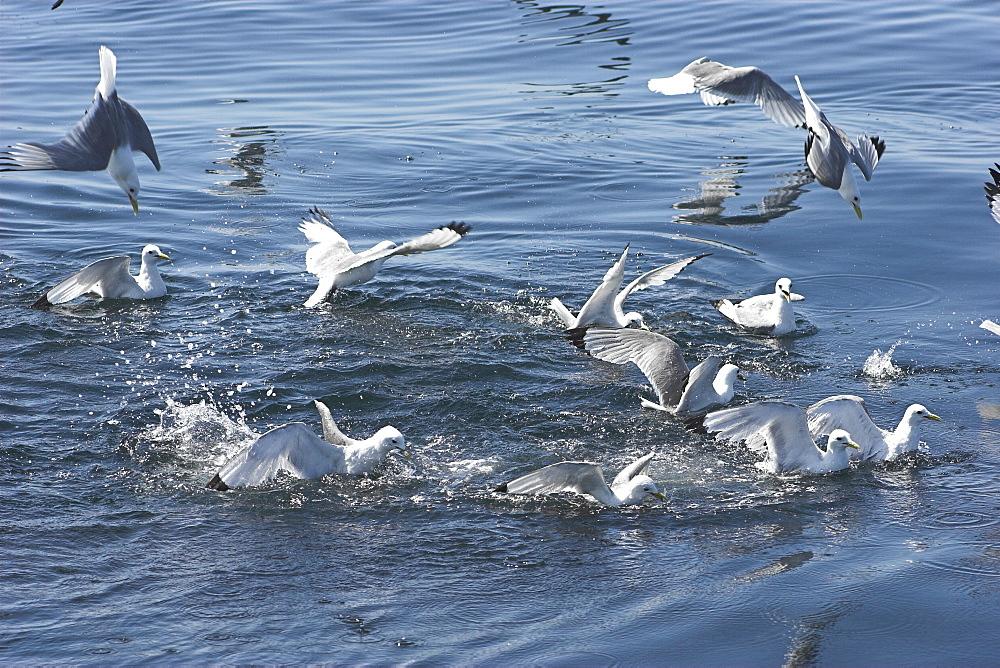 Kittiwakes (Rissa tridactyla) attacking sand eel baitball Isle of Mull, Western Scotand    (RR)