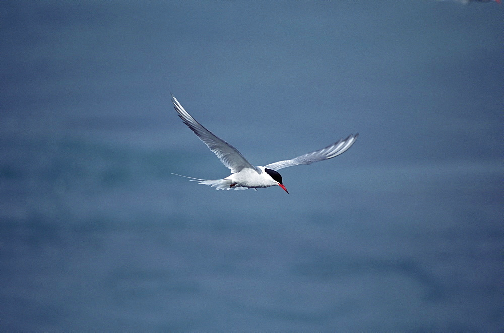 Arctic tern (Sterna hirundo) hovering over estuary, hunting sand eels, in mid-summer when the colonies are active for 24 hours per day. Iceland.  - 985-43