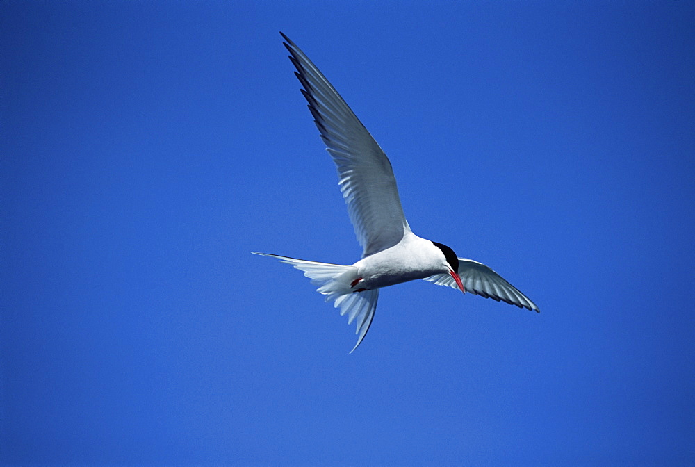 Arctic tern (Sterna hirundo) hovering over estuary, hunting sand eels, in mid-summer when the colonies are active for 24 hours per day. Iceland.  - 985-45