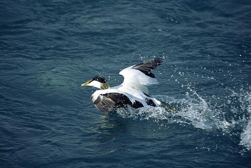 Eider duck (Somateria mollissima) taking off, Jokulsarlon Glacial Lagoon, Iceland - 985-47