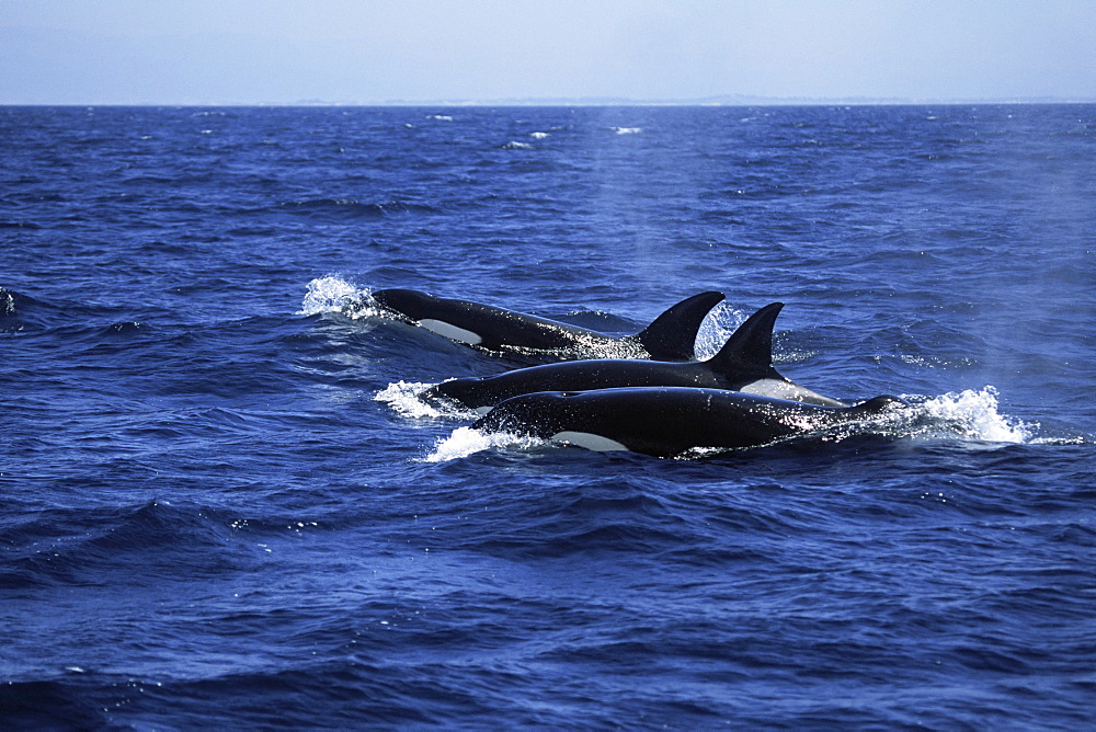 Pod of Killer whales (Orcinus orca) travelling in a family group (including one with flopped dorsal fin). Monterey Bay, California. USA. - 985-8