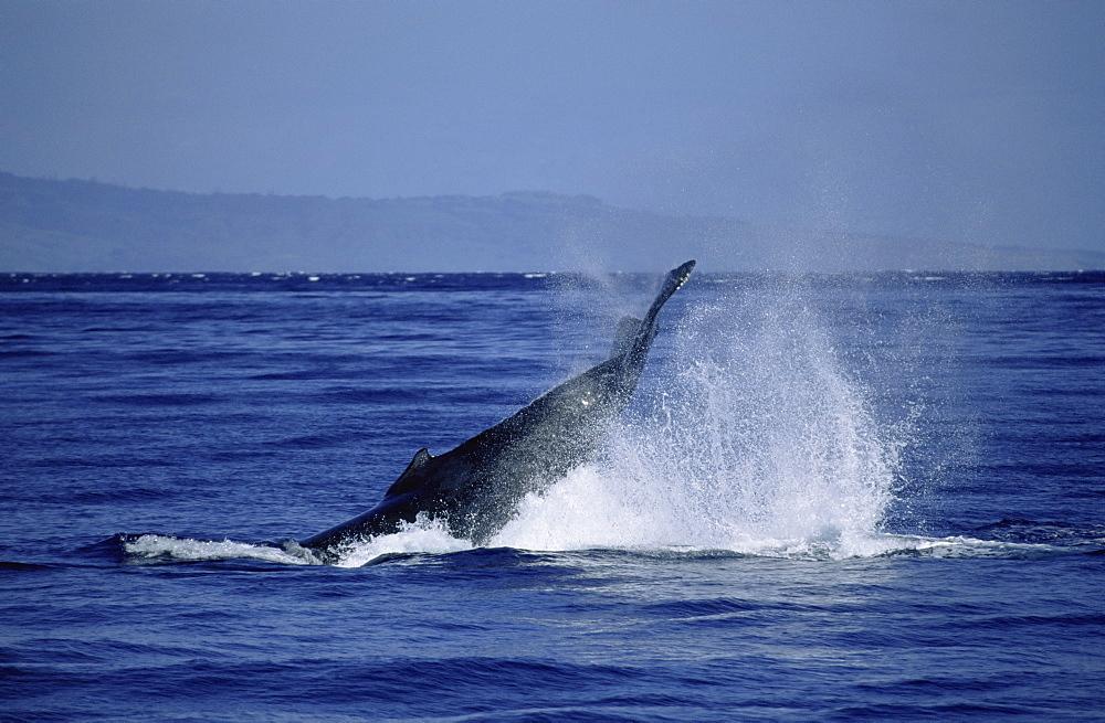 Humpback whale (Megaptera novaeangliae) tail lobbing / tail throw. Hawaii, USA