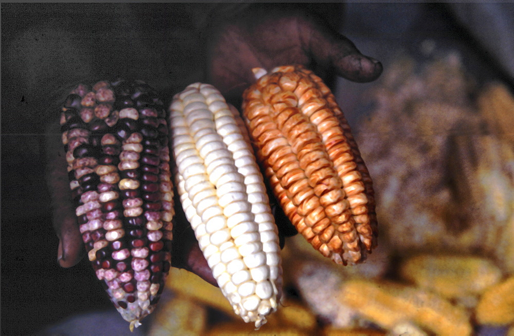 Maize. Hands holding different maize variety's, Nepal. - 986-52