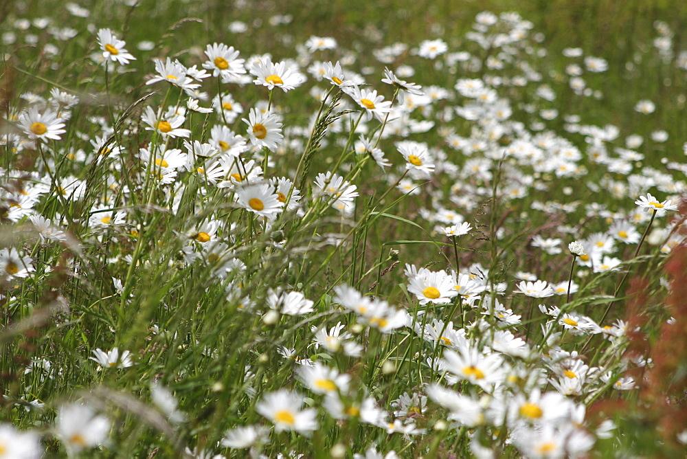 Daisies. Meadow Flowers, Devon Field. - 986-80