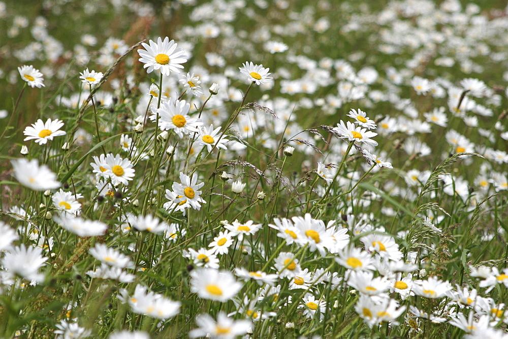 Daisies. Meadow Flowers, Devon Field. - 986-81