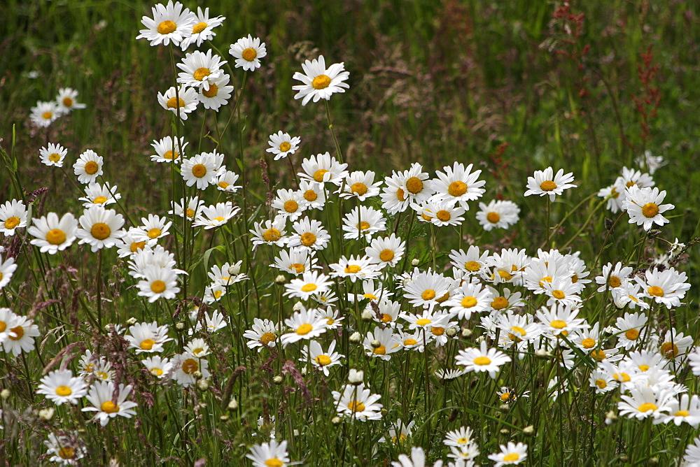 Daisies. Meadow Flowers, Devon Field.