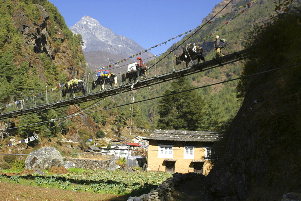 Yaks on Bridge. near Lukla, Everest Trail, Nepal. - 986-96