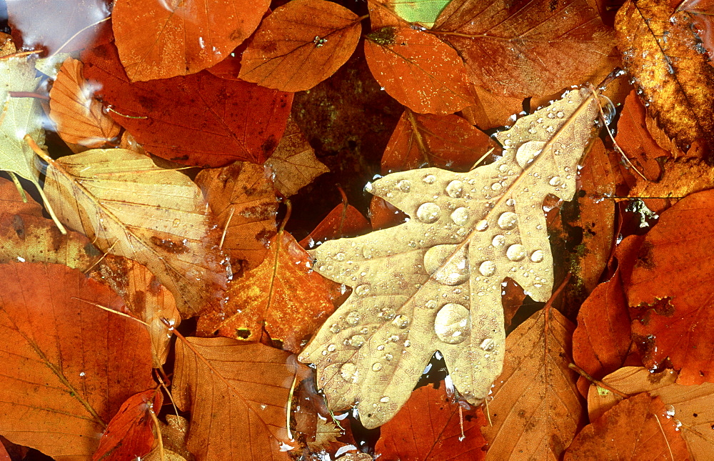 pedunculate oak: quercus robur fallen leaf in pond edzell, angus, scotland