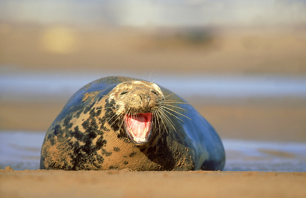 grey seal: halichoerus grypus cow yawning eastern england, uk