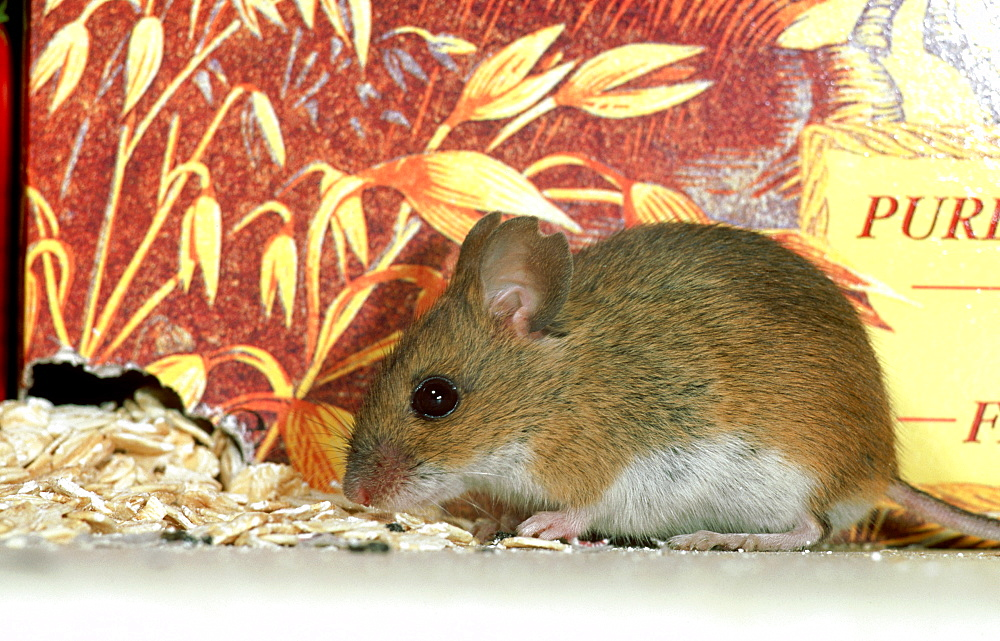 long-tailed field mouse: apodemus sylvaticus in domestic pa ntry brechin, angus, scotland