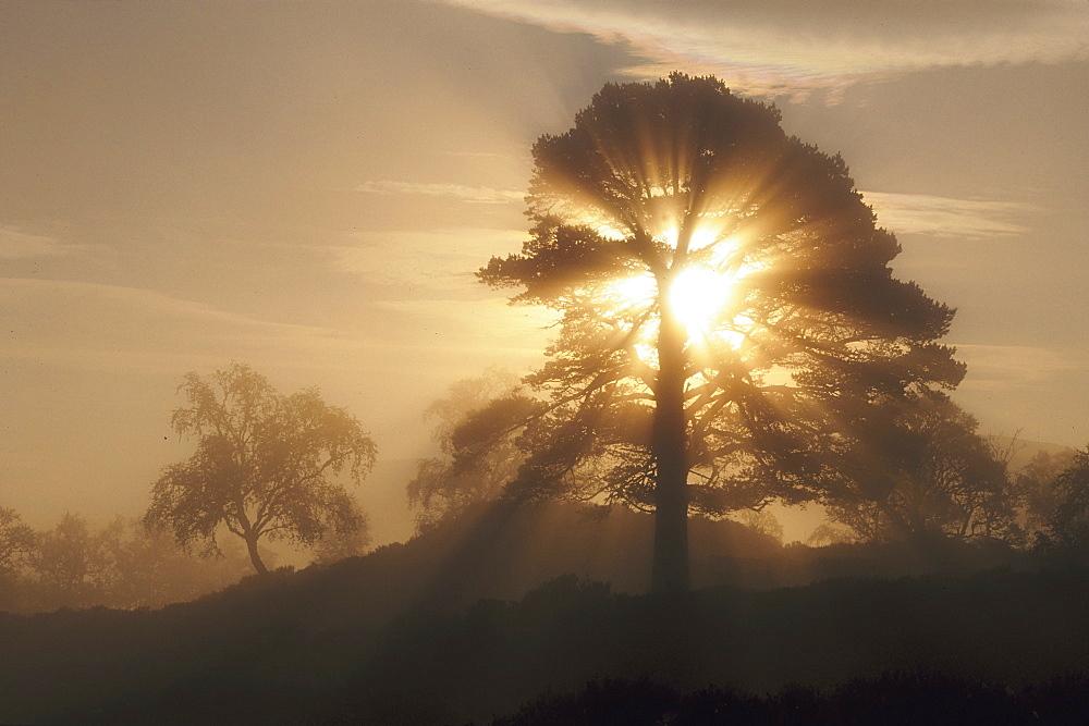 scots pine pinus sylvestris in morning mist glen affric, inverness-shire