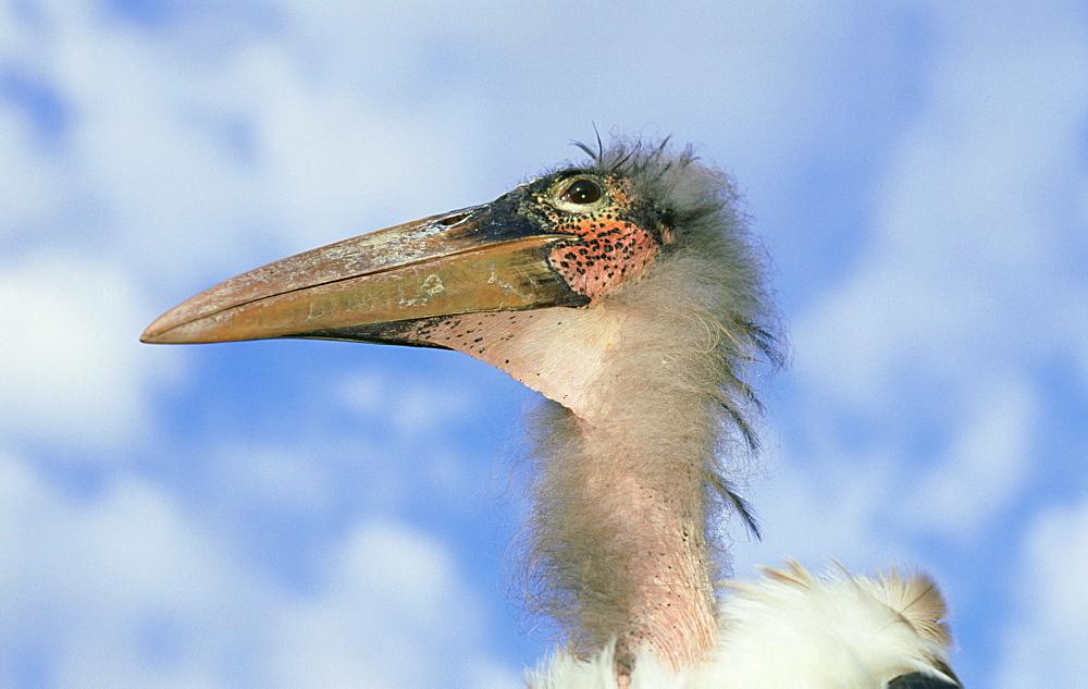 marabou stork: leptoptilos crumeniferus juvenile kent, eng land