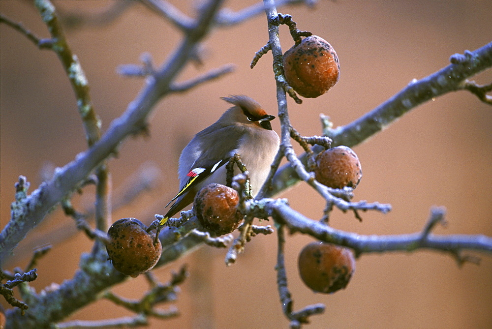 waxwing bombycilla garullus in apple orchard 2001 kinlochewe, scotland