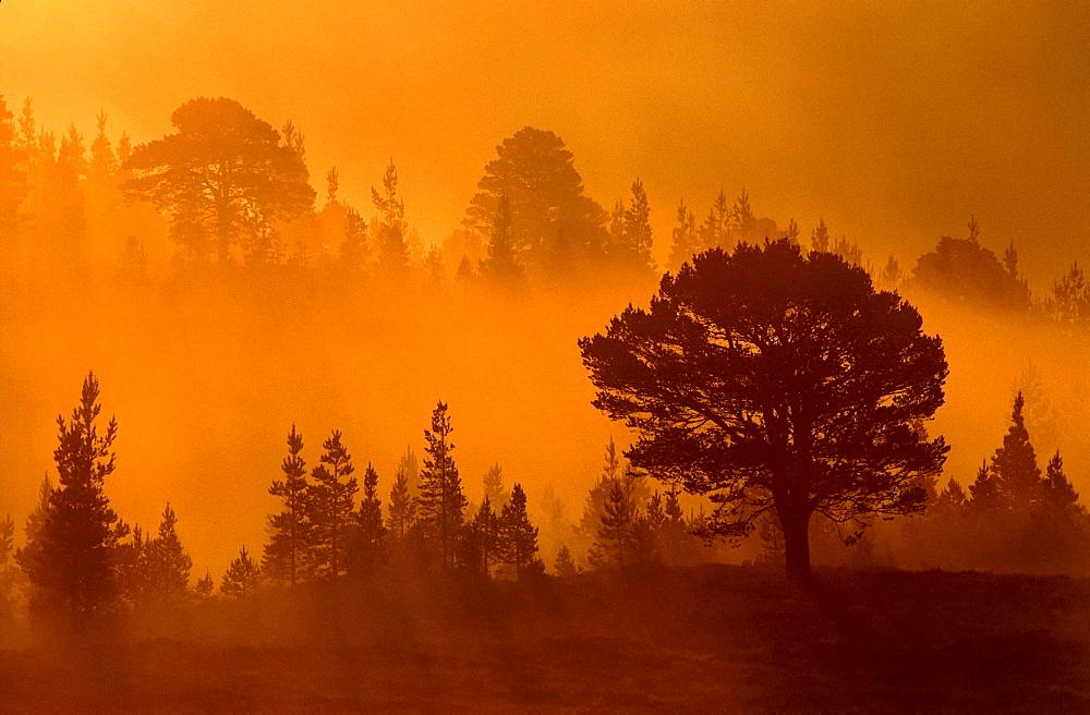 scots pine - 987-132