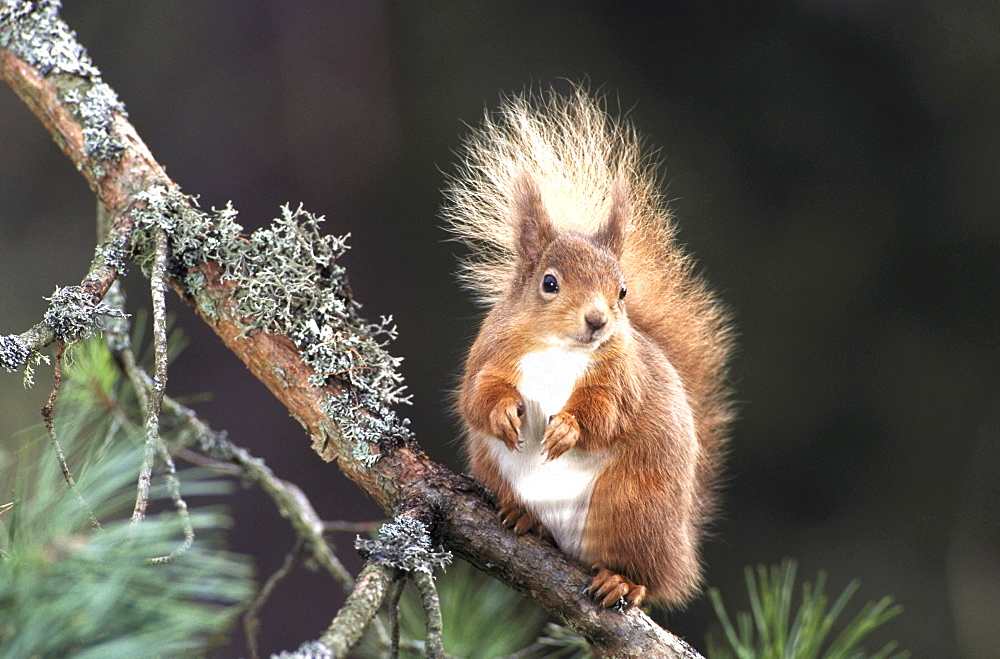 Red squirrel, Sciurus vulgaris, Meikleour, Perthshire, Scotland