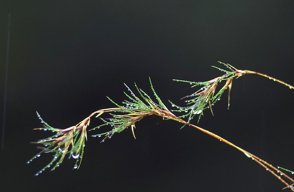 viviparous fescue festuca viv. ardnamurchan, argyll