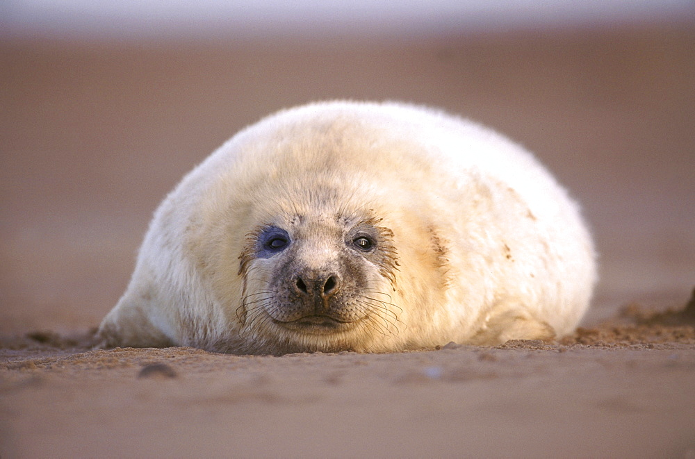 grey seal, halichoerus grypus, , pup on beach, early dec, eastern england, uk. - 987-151
