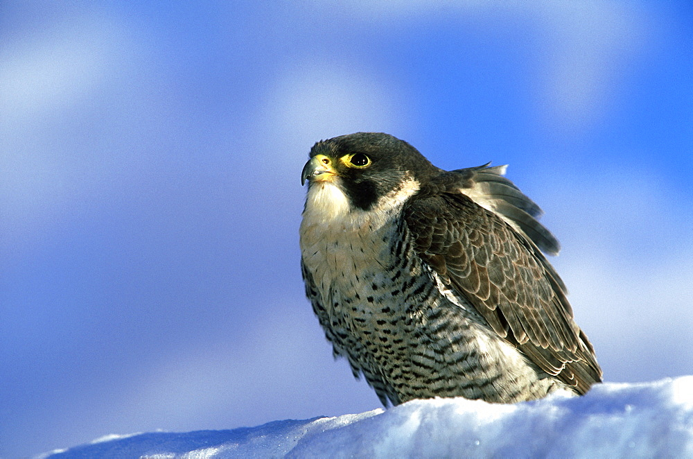 peregrine falcon, falco peregrinus, scottish race, male sitting on bank on scottish borders - 987-16