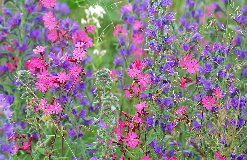 Wild flower meadow with vipers bugloss and red campion. Scotland, UK