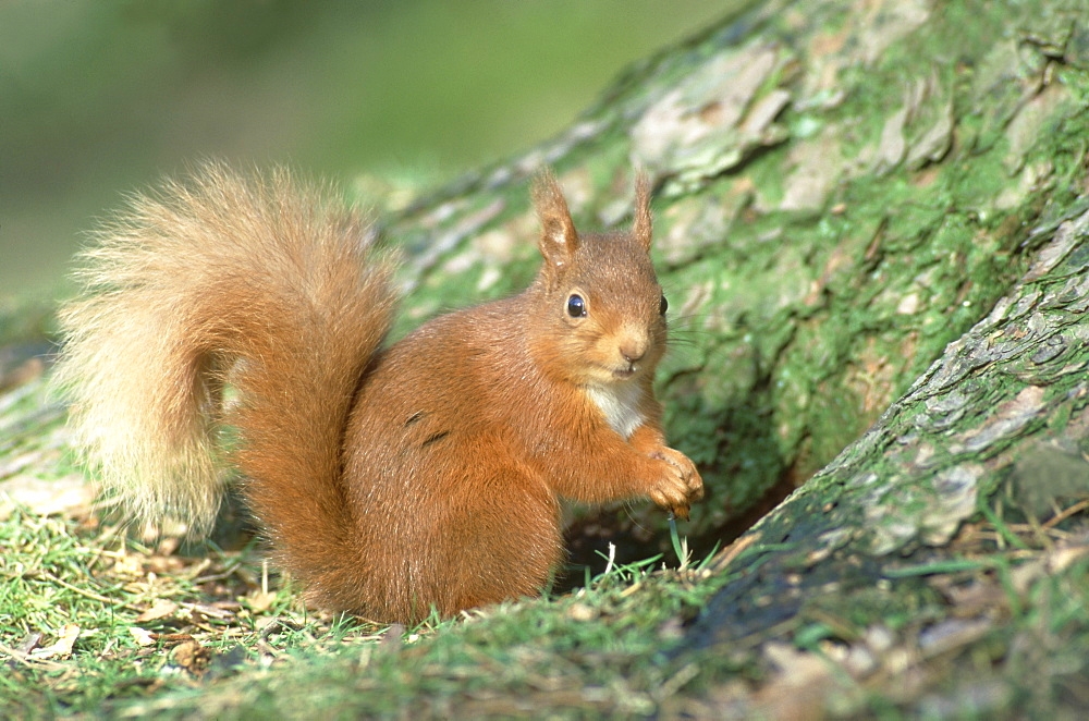 red squirrel sciurus vulgaris beside scots pine guthrie, angus, scotland