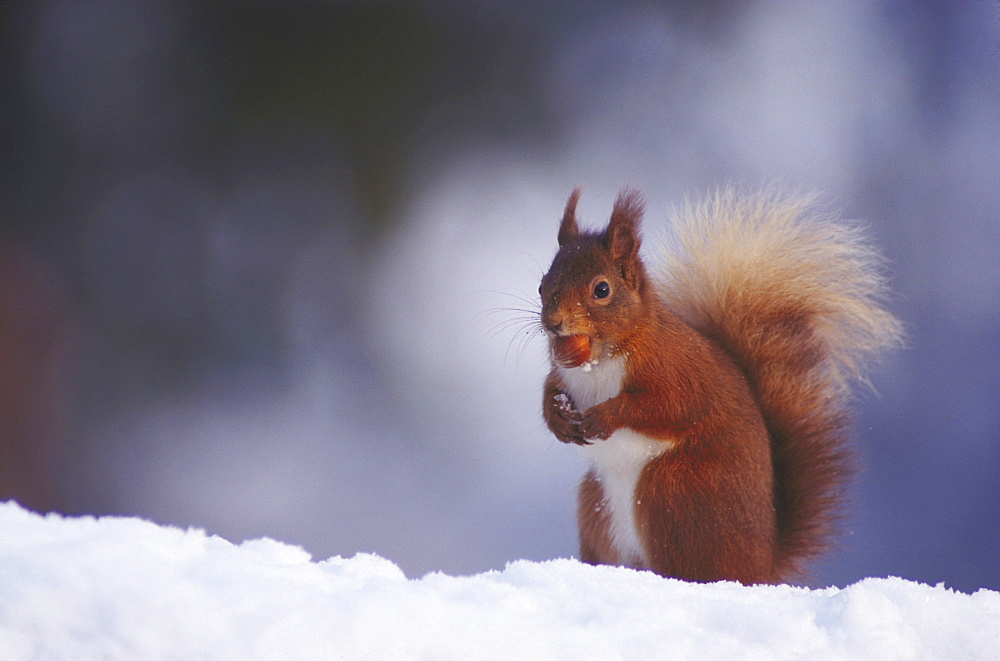 Red squirrel, Sciurus vulgaris, in snow, Meikleour, Perth, Scotland