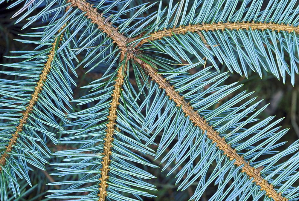 sitka spruce picea sitchensis underside of branch angus, scotland
