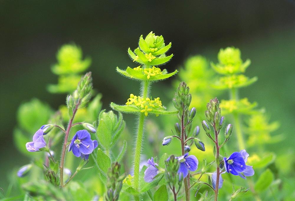 crosswort, cruciata laevipes, montrose, angus, scotland