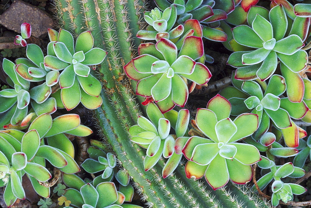 echeveria pulvinata & trichocerus hauscha - 987-200