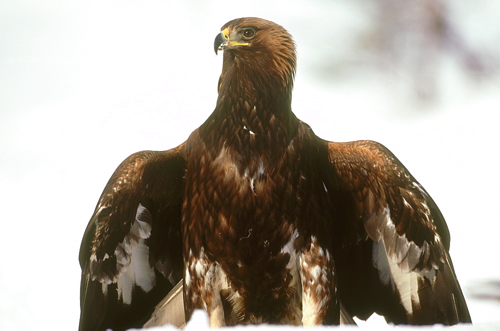 golden eagle, aquila chrysaetos, immature mantling prey, norway