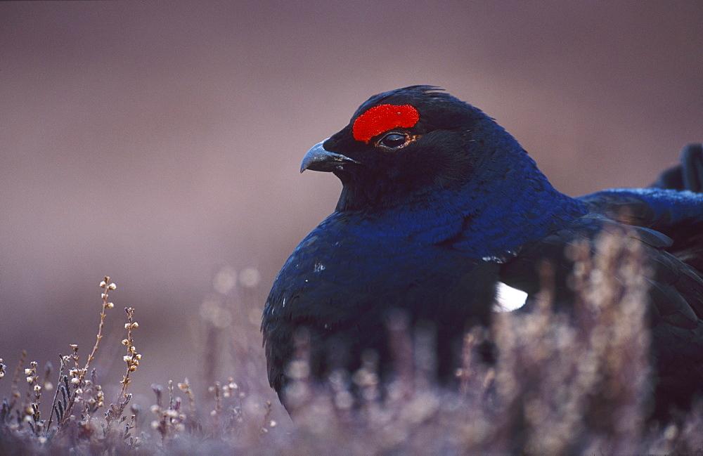black grouse, tetrao tetrix, male on lek site, angus, scotland - 987-253