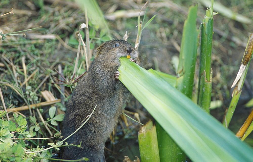 Water vole, Arvicola terrestris, feeding on iris leaves, Kent, England