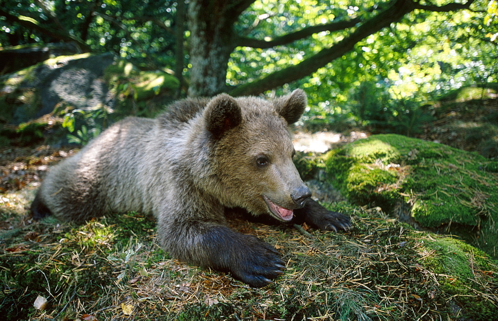 european brown bear, ursus arctos, cub resting, bohemia, europe